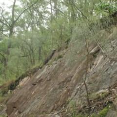 Jacksonia scoparia (Dogwood) at Deua River Valley, NSW - 14 Dec 2018 by JackieMiles