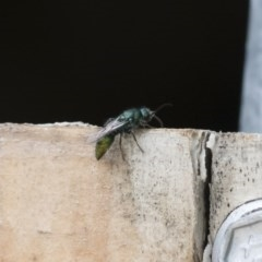 Mutillidae sp. (family) (Unidentified 'velvet ant') at Illilanga & Baroona - 16 Dec 2018 by Illilanga