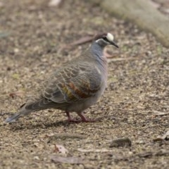 Phaps chalcoptera (Common Bronzewing) at ANBG - 11 Dec 2018 by Alison Milton