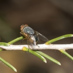 Calliphora sp. (genus) (Unidentified blowfly) at ANBG - 10 Dec 2018 by Alison Milton