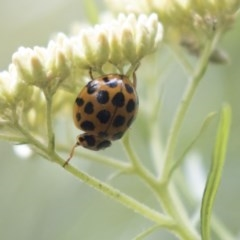 Harmonia conformis (Common Spotted Ladybird) at ANBG - 11 Dec 2018 by Alison Milton