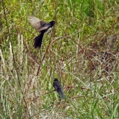 Rhipidura leucophrys (Willie Wagtail) at Jerrabomberra Wetlands - 16 Dec 2018 by RodDeb