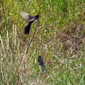 Rhipidura leucophrys at Jerrabomberra Wetlands - 16 Dec 2018