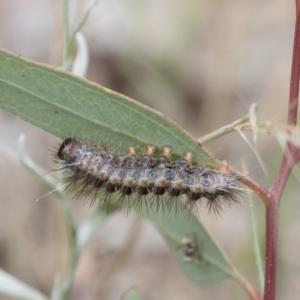 Epicoma (genus) at Michelago, NSW - 15 Feb 2015