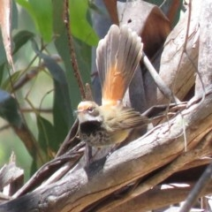 Rhipidura rufifrons (Rufous Fantail) at Namadgi National Park - 4 Dec 2018 by KumikoCallaway
