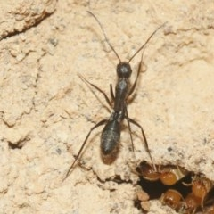 Camponotus sp. (genus) (A sugar ant) at Black Mountain - 29 Oct 2018 by silversea_starsong