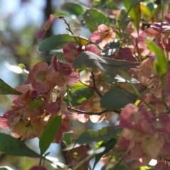 Dodonaea viscosa (Hop Bush) at Hughes Grassy Woodland - 17 Dec 2018 by JackyF
