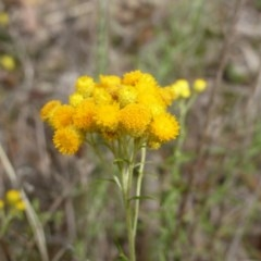 Chrysocephalum semipapposum (Clustered Everlasting) at Mount Mugga Mugga - 15 Dec 2018 by Mike