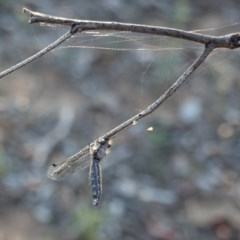 Suhpalacsa sp. (genus) (Owlfly) at Hughes Grassy Woodland - 17 Dec 2018 by JackyF