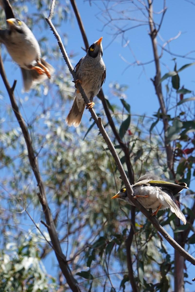 Manorina melanocephala at Hughes Grassy Woodland - 17 Dec 2018