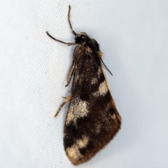 Anestia (genus) (A tiger moth) at O'Connor, ACT - 3 Dec 2018 by ibaird