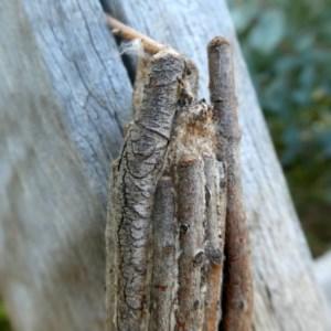 Clania ignobilis at Wandiyali-Environa Conservation Area - 18 Dec 2018