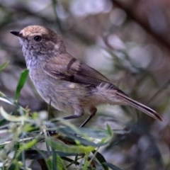 Acanthiza pusilla (Brown Thornbill) at ANBG - 17 Dec 2018 by RodDeb