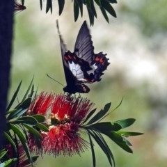 Papilio aegeus (Orchard Swallowtail) at ANBG - 17 Dec 2018 by RodDeb