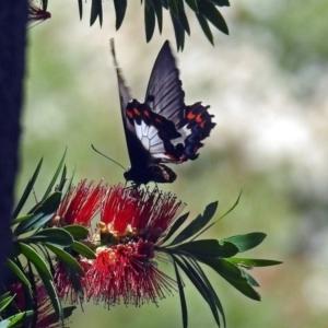 Papilio aegeus at ANBG - 17 Dec 2018