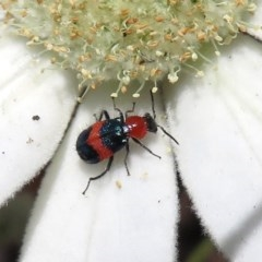Dicranolaius bellulus (Red and Blue Pollen Beetle) at ANBG - 17 Dec 2018 by RodDeb
