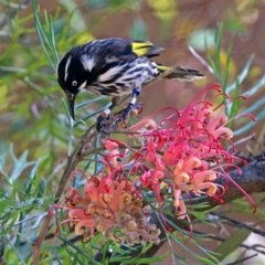 Phylidonyris novaehollandiae (New Holland Honeyeater) at ANBG - 16 Dec 2018 by RodDeb