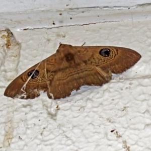 Dasypodia selenophora at ANBG - 17 Dec 2018