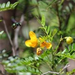 Xylocopa aeratus (Metallic Green Carpenter Bee) at ANBG - 18 Dec 2018 by Tim L
