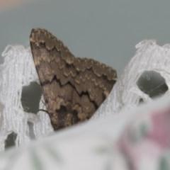 Mormoscopa phricozona (A Herminiid Moth) at Higgins, ACT - 17 Dec 2018 by Alison Milton