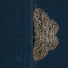 Zermizinga sinuata (Lucerne Looper, Spider Moth) at Higgins, ACT - 14 Apr 2018 by Alison Milton