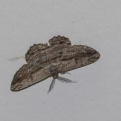 Scioglyptis chionomera (Grey-patch Bark Moth) at Tidbinbilla Nature Reserve - 13 Dec 2018 by Alison Milton