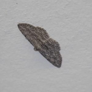 Psilosticha mactaria at Tidbinbilla Nature Reserve - 14 Dec 2018