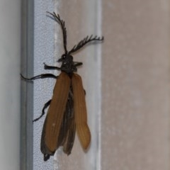 Porrostoma sp. (genus) (Lycid beetle, Net-winged beetle) at Higgins, ACT - 8 Dec 2018 by Alison Milton
