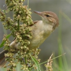 Acrocephalus australis (Australian Reed-Warbler) at Jerrabomberra Wetlands - 16 Dec 2018 by Christine