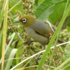 Zosterops lateralis (Silvereye) at Jerrabomberra Wetlands - 16 Dec 2018 by Christine