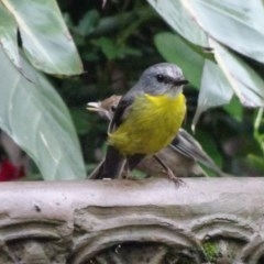 Eopsaltria australis (Eastern Yellow Robin) at FS Private Property - 18 Dec 2018 by Stewart