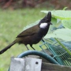 Psophodes olivaceus (Eastern Whipbird) at FS Private Property - 18 Dec 2018 by Stewart