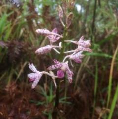 Dipodium variegatum (Blotched Hyacinth Orchid) at Narrawallee Foreshore Reserves Walking Track - 18 Dec 2018 by SueHob