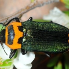 Castiarina pertii (Jewel beetle) at Jerrawangala National Park - 17 Dec 2018 by Harrisi