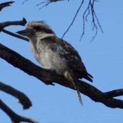 Dacelo novaeguineae (Laughing Kookaburra) at Red Hill Nature Reserve - 18 Dec 2018 by JackyF