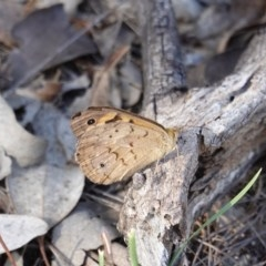 Heteronympha merope (Common Brown) at Red Hill Nature Reserve - 18 Dec 2018 by JackyF