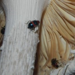 Dicranolaius bellulus (Red and Blue Pollen Beetle) at The Pinnacle - 17 Dec 2018 by Alison Milton