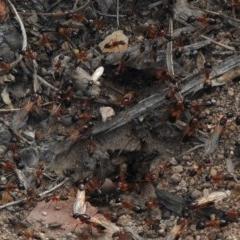 Camponotus consobrinus (Banded sugar ant) at Aranda, ACT - 19 Dec 2018 by KMcCue