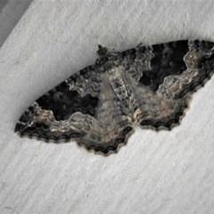 Larentiinae (subfamily) (A geometer moth) at Tidbinbilla Nature Reserve - 14 Dec 2018 by JohnBundock