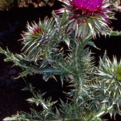 Carduus nutans (Nodding Thistle) at Namadgi National Park - 12 Jan 2005 by BettyDonWood