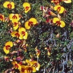 Dillwynia prostrata (Matted parrot-pea) at Namadgi National Park - 24 Nov 2004 by BettyDonWood