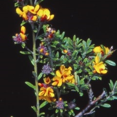 Pultenaea polifolia at Namadgi National Park - 24 Nov 2004 by BettyDonWood