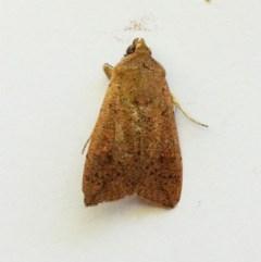 Mythimna convecta (Common Armyworm) at Hughes, ACT - 19 Dec 2018 by ruthkerruish