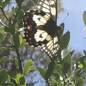 Papilio anactus at ANBG - 19 Dec 2018