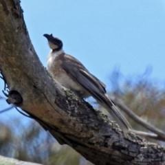 Philemon corniculatus (Noisy Friarbird) at Namadgi National Park - 19 Dec 2018 by RodDeb