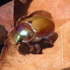 Anoplognathus montanus (Montane Christmas beetle) at Namadgi National Park - 19 Dec 2018 by RodDeb