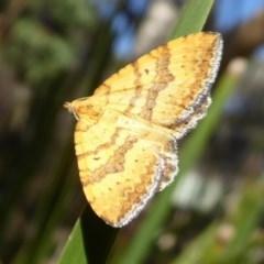 Chrysolarentia correlata (Yellow Carpet) at Namadgi National Park - 19 Dec 2018 by Christine