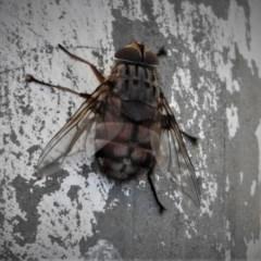 Rutilia (Rutilia) sp. (genus & subgenus) (Bristle fly) at Mount Painter - 17 Dec 2018 by JohnBundock