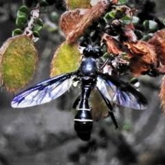 Daptolestes limbipennis (A wasp-mimicking robber fly) at Namadgi National Park - 18 Dec 2018 by JohnBundock