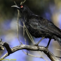Corcorax melanorhamphos (White-winged Chough) at Red Hill Nature Reserve - 16 Dec 2018 by BIrdsinCanberra